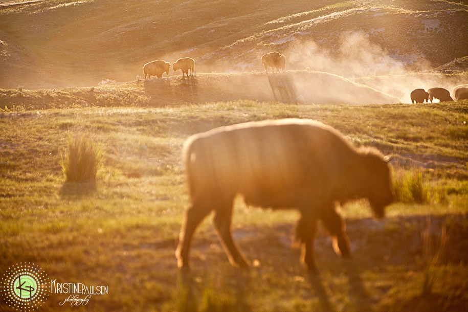 Bison Roll in Dust Montana Photography